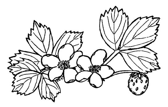 Divje jagode