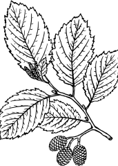 Jelša